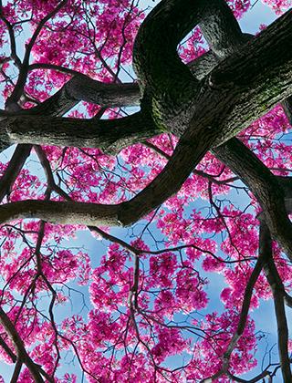 Närbild på Lapachoträdet underifrån