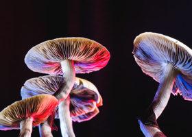 Den mexikanska magiska svampen är en psilocybe cubensis, vars huvudsakliga aktiva element är psilocybin.
