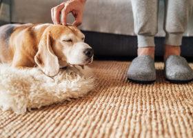 Hund blir kliad på huvudet, fötter med tofflor bakgrunden