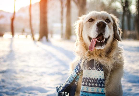 Golden retriever med halsduk i vintermiljö