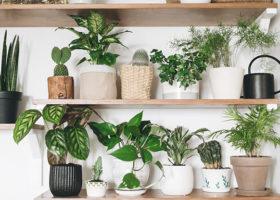Trähyllor i modernt inrett rum med gröna växter och svart vattenkanna. Kaktus, aloe vera och murgröna i krukor på hyllan