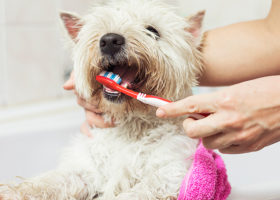 Liten vit hund får tänderna borstade