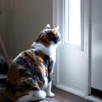 Katt sitter innanfför ytterdörren och tittar ut