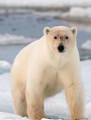 En isbjörn