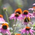 echinacea blommor