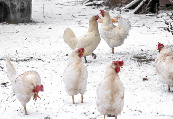 Kycklingar utomhus