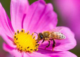 Rosa blomma med ett bi på