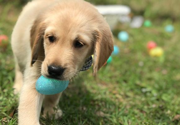 En ljus hund med ett påskägg i munnen