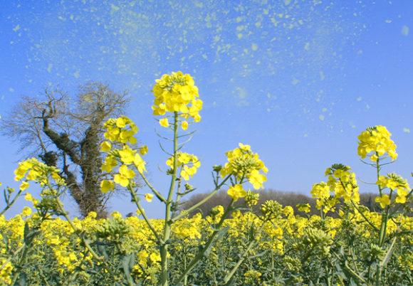 Pollen lyfter mot himlen från en blomsteräng