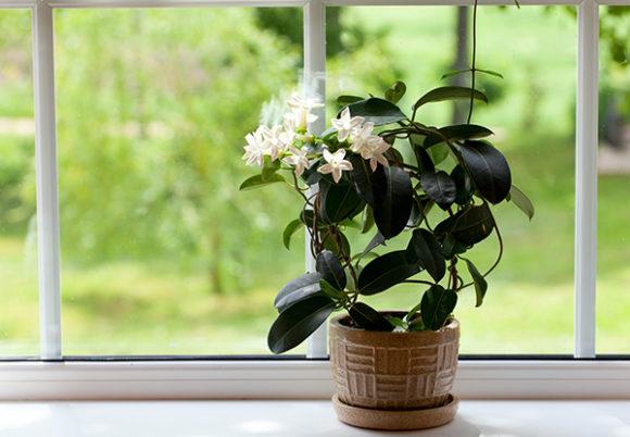 jasminblomma i ett fönster
