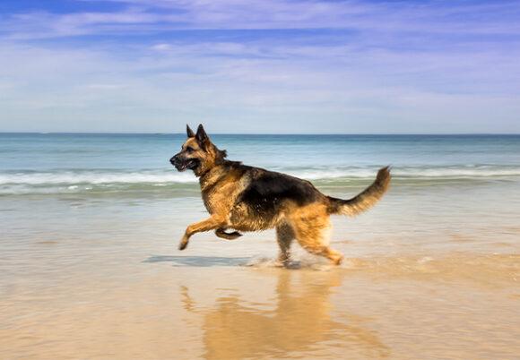 Schäferhund springer på en strand