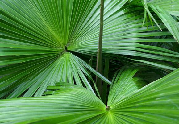 sågpalmetto blad